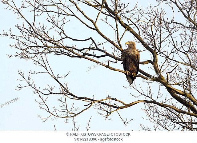 White tailed Eagle / Sea Eagle / Seeadler ( Haliaeetus albicilla ) perched high up in a tree, typical situation, wildlife, Europe