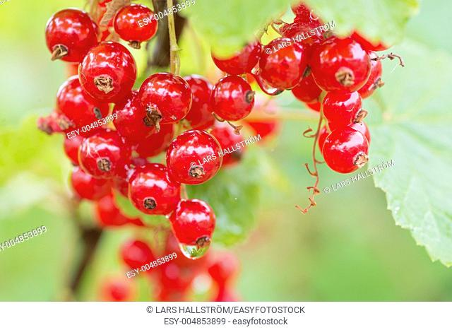 Fresh red currant berries hanging on a bush in garden