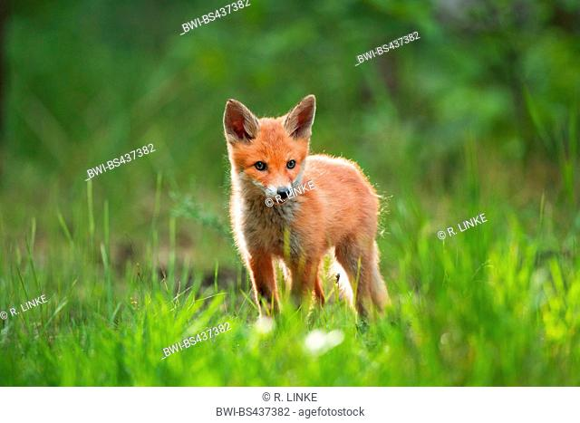red fox (Vulpes vulpes), fox kit standing on a meadow, Germany