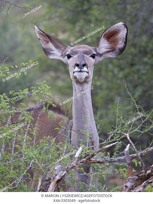 Portait of greater kudu (Tragelaphus strepsiceros) female, Okonjima Nature Reserve, Namibia