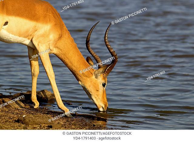 Impala Aepyceros melampus - Male, in the waterhole, Sunset Dam, Kruger National Park, Soputh Africa