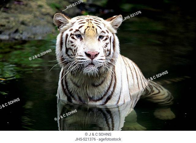 Indian Tiger White Form, White tiger, Bengal tiger, (Panthera tigris tigris), adult in water portrait, India, Asia