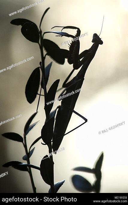Silhouette of Chinese Praying mantis (Tenodera sinensis) - Brevard, North Carolina, USA