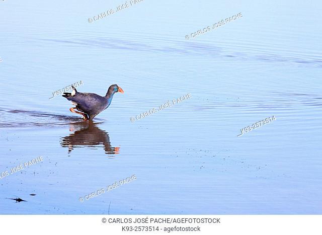 Purple Swamphen (Porphyrio porphyrio). S'Albufera de Mallorca, Balearic Islands, Spain