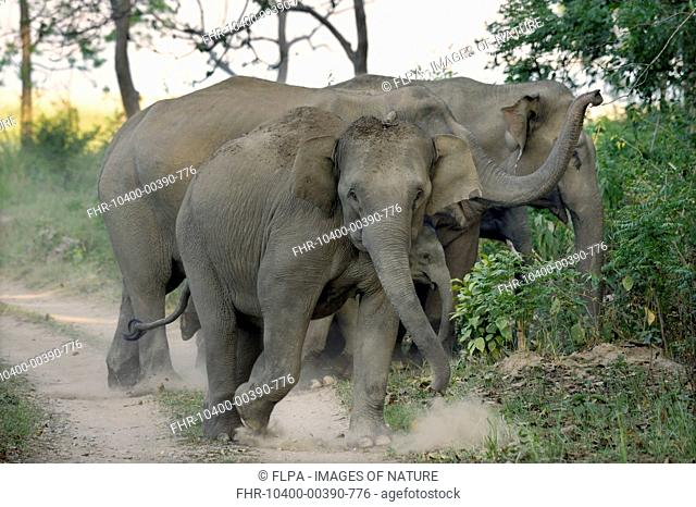 Asian Elephant (Elephas maximus indicus) adult females and calves, herd alert after smelling presence of tiger, walking on track in forest at dawn