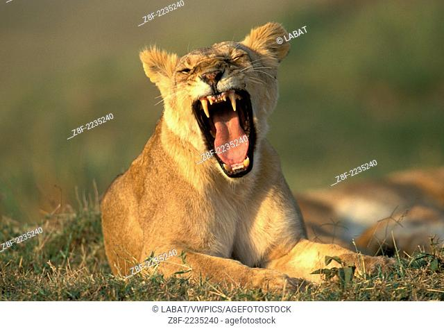 Lions (Panthera leo), Masai Mara reservation, Kenya