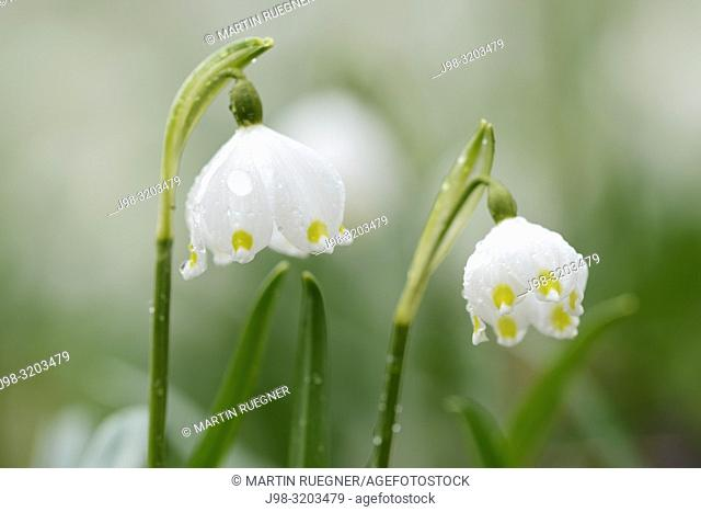 Spring Snowflake (Leucojum vernum) in bloom. Bavaria, Germany