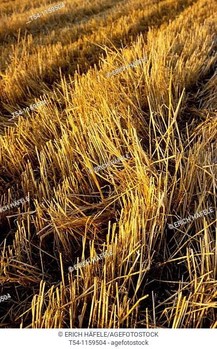 Harvested grain field