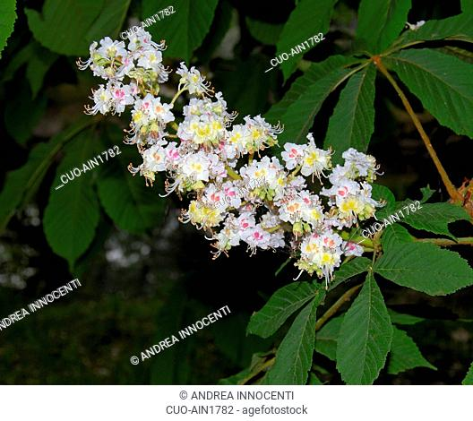 Aesculus hippocastanum, foliage and flowers