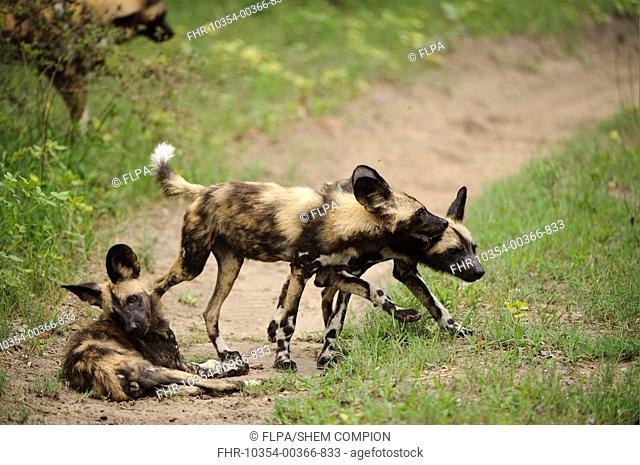 African Wild Dog Lycaon pictus three pups, playing on track, Kwando Lagoon, Linyanti, Botswana