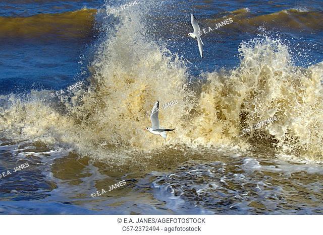 Black headed Gulls Larus ridibundus feeding on sea