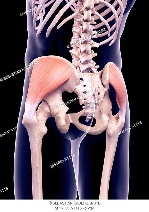 Illustration of the gluteus medius muscles