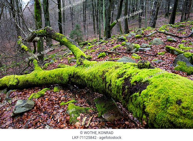 dead tree covered with moss, Germany, Europe