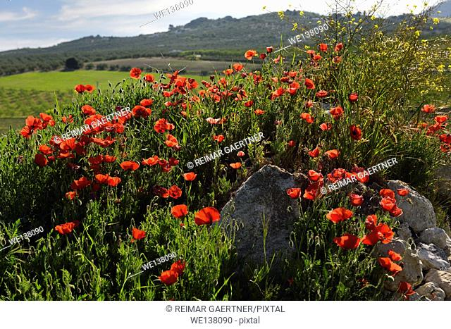 Red Poppies and Yellow Rocket weeds at rock outcrop in farm field above Puerto Lope village Andalusia Spain