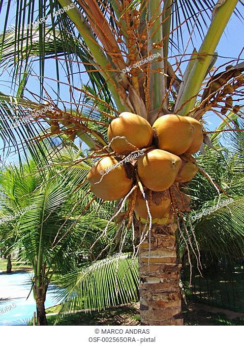 fortaleza coconut trees full of fruits