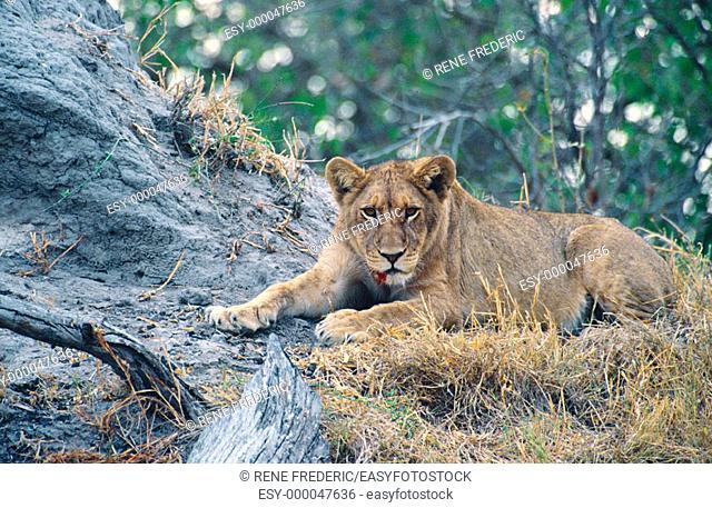 Young lioness (Panthera leo). Linyanti Swamp. Botswana