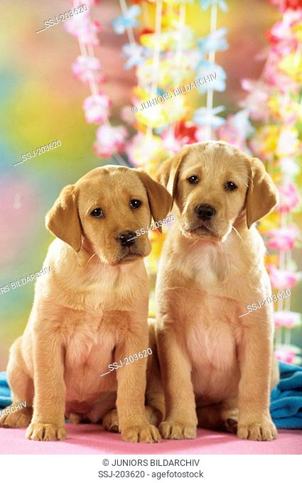 Labrador Retriever. Two puppies sitting in front of flower garlands. Germany