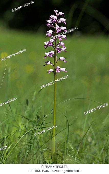 Military orchid, Orchis militaris / Helm-Knabenkraut, Orchis militaris