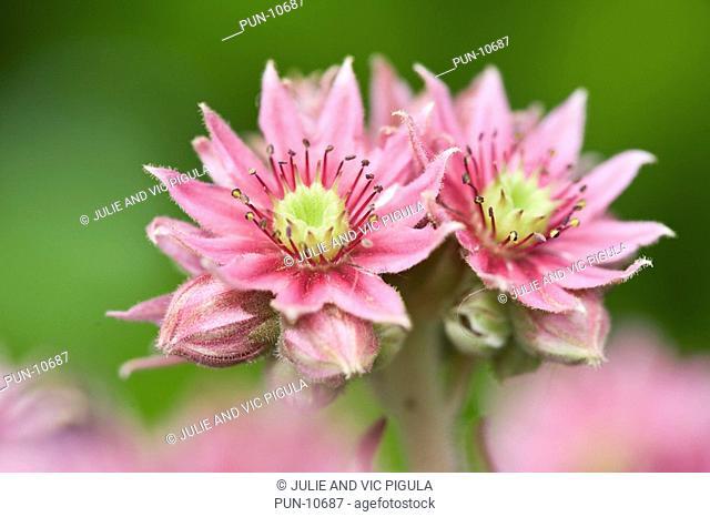 House leeks Sempervivum flowers