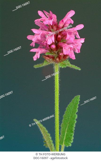 Betony - Woundwort - medicinal plant - herb - Stachys officinalis - Betonica officinalis - Erba betonica -