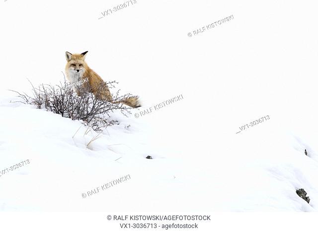 Red Fox / Amerikanischer Rotfuchs ( Vulpes vulpes fulva ) in winter, sitting in snow on top of a hill, watching, peeking, Yellowstone National Park, Wyoming,USA