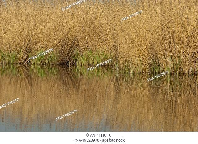 Common Reed Phragmites australis - Wormer- en Jisperveld, Zaanstreek en Waterland, North Holland, The Netherlands, Holland, Europe