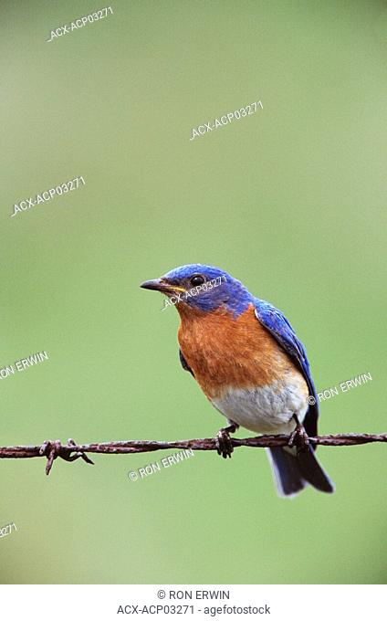 Male Eastern Bluebird Sialia sialis on a barbed wire fence, Barrie Island, Manitoulin Island, Ontario, Canada