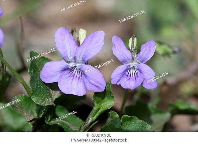 Common Dog-violet Viola riviniana - Buskersbos, Winterswijk, Achterhoek, Guelders, The Netherlands, Holland, Europe