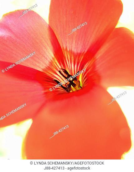 Wildflower detail - Scarlet Flax (Linum rubrum)