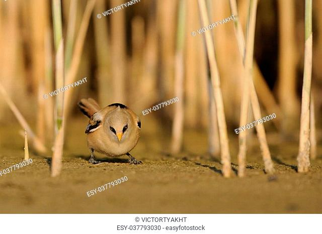 Juvenile Bearded Reedling (Panurus biarmicus) seeking for feed near the reeds in August. Manych lake, Kalmykia, Russia