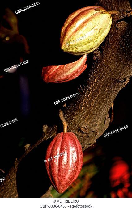 Cocoa; cacao fruit