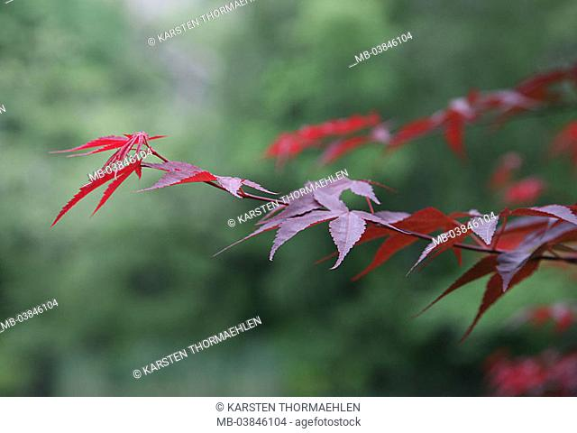 Japanese maple, Acer japonicum, detail, branch, leaves, plant, tree, foliage-tree, garden-ornament-plant, ornament-plant, fan-maple, foliage, red, Japan-maple