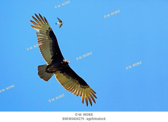 turkey vulture (Cathartes aura), in flight, USA, Florida, Kissimmee