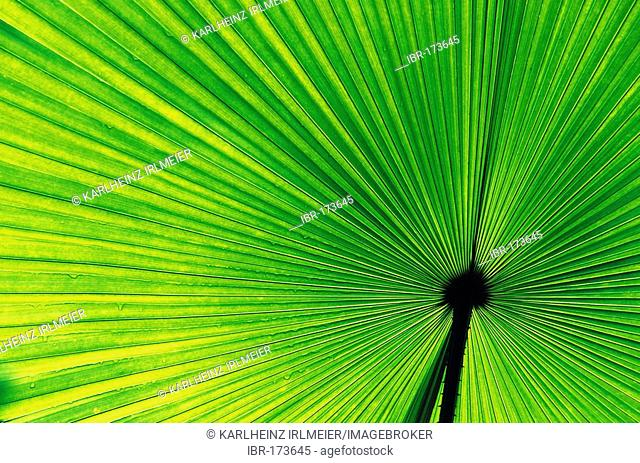 Palm-leave, Vallee de Mai Nationalpark, Praslin, Seychelles Islands, Africa