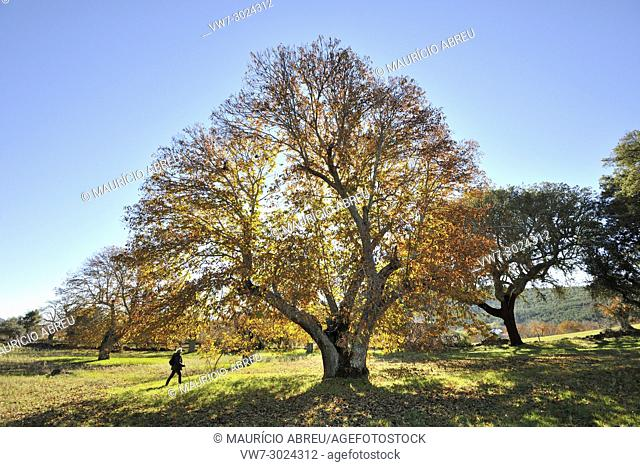 Chestnut trees in Autumn. Sao Mamede Natural Park, Portugal