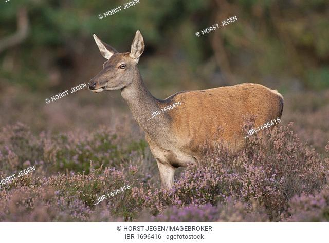 Red deer (Cervus elaphus), doe
