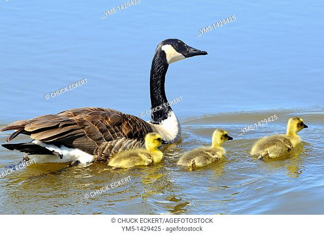 A female Canadian Goose swimming with her 3 newborn chicks Branta canadensis