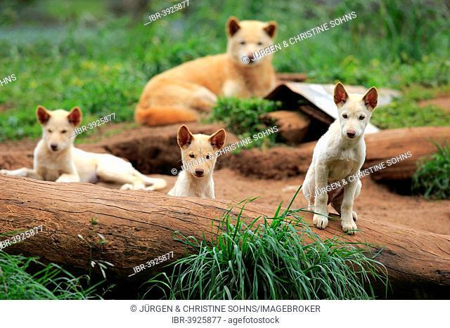 Dingoes (Canis familiaris dingo), Australia