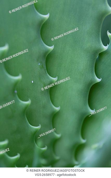 plants in a park in Barcelona, Spain. details of the thorns of Aloe leafs