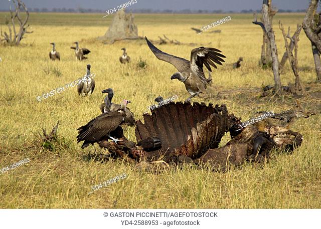 Hooded Vulture (Necrosyrtes monachus), Cape Vultures (Necrosyrtes monachus), and Black-backed Jackal (Canis mesomelas)- At the carcass of a Cape Buffalo...