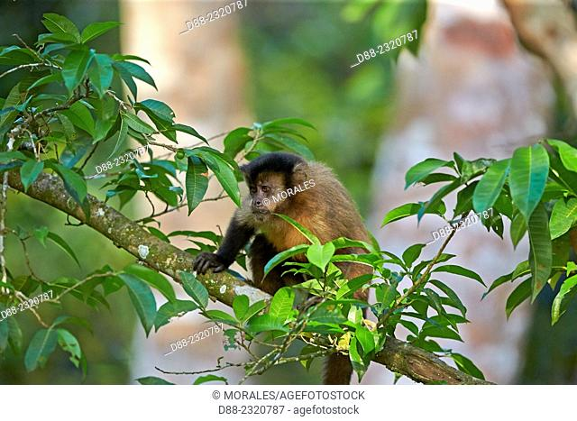 South America,Brazil,Mato Grosso,Pantanal area,Black-capped, Brown or Tufted Capuchin (Cebus apella),looking for food