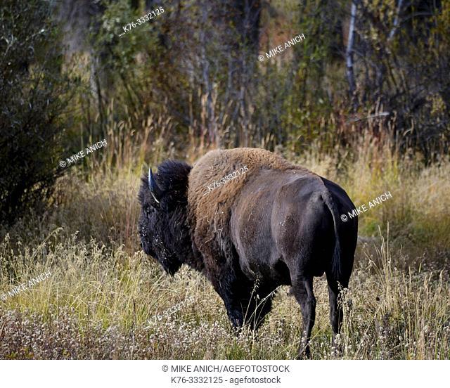 Buffalo, Grand Teton National Park, Wyoming