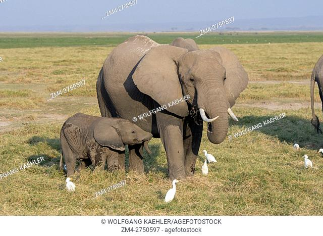 African elephant (Loxodonta africana) mother with baby in Amboseli National Park in Kenya