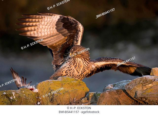 Bonellis eagle (Hieraaetus fasciatus, Aquila fasciata), juvenila on the ground with caugt pigeon, Spain, Katalonia, Agramunt