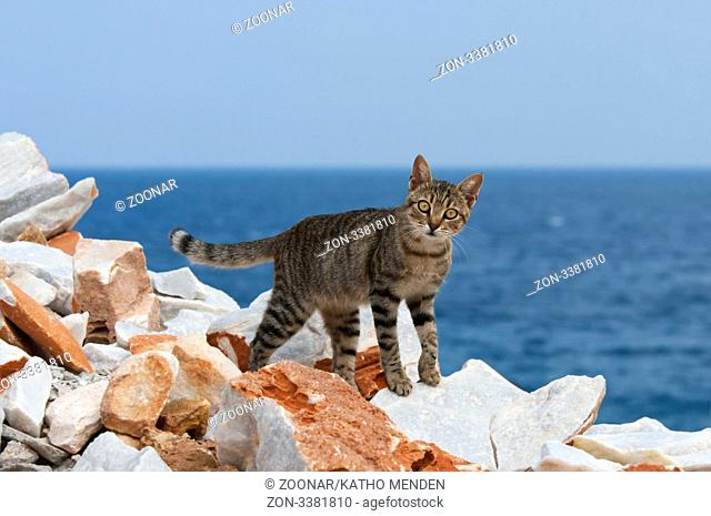 Hauskatze, getigert, am Klippenrand mit Meerblick, Kykladen / Cat, black tabby, at the edge of a cliff with ocean view, Cyclades, Greece