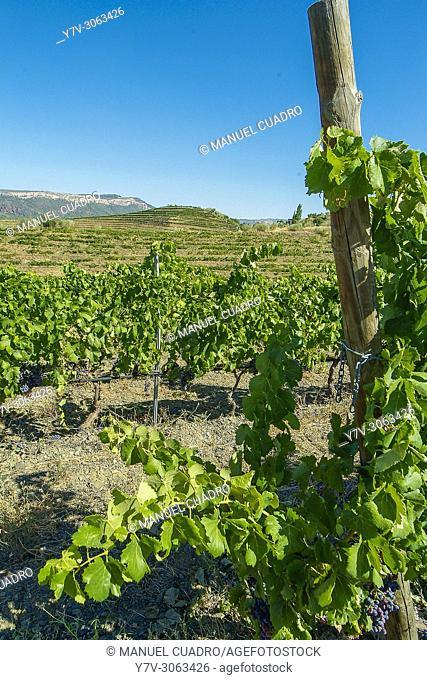 Vineyards. Bodega Costers del Priorat. Comarca del Priorat, Tarragona Province, Catalonia, Spain