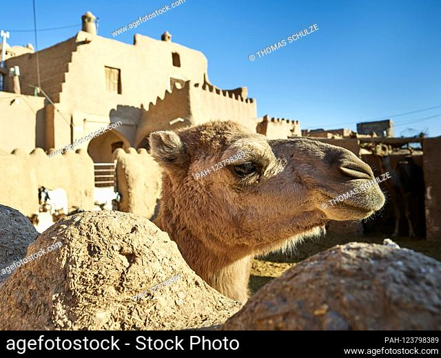 A camel in front of the Ateshonni Guesthouse in the oasis town of Garmeh in the desert Dasht-e Kavir in Iran, taken on November 14th, 2017