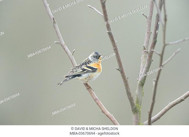 Mountain finch, Fringilla montifringilla, branch, sitting