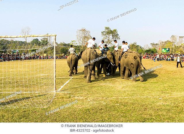 Asian elephants (Elephas maximus) playing football at elephant festival, Sauraha, Chitwan, Nepal