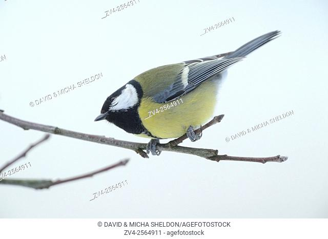 Great Tit (Parus major) sitting on a branch in winter, Bavaria, Germany